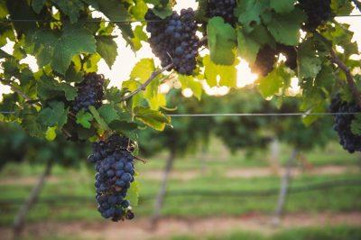 Texas boort nieuwe bron van succes aan: wijn
